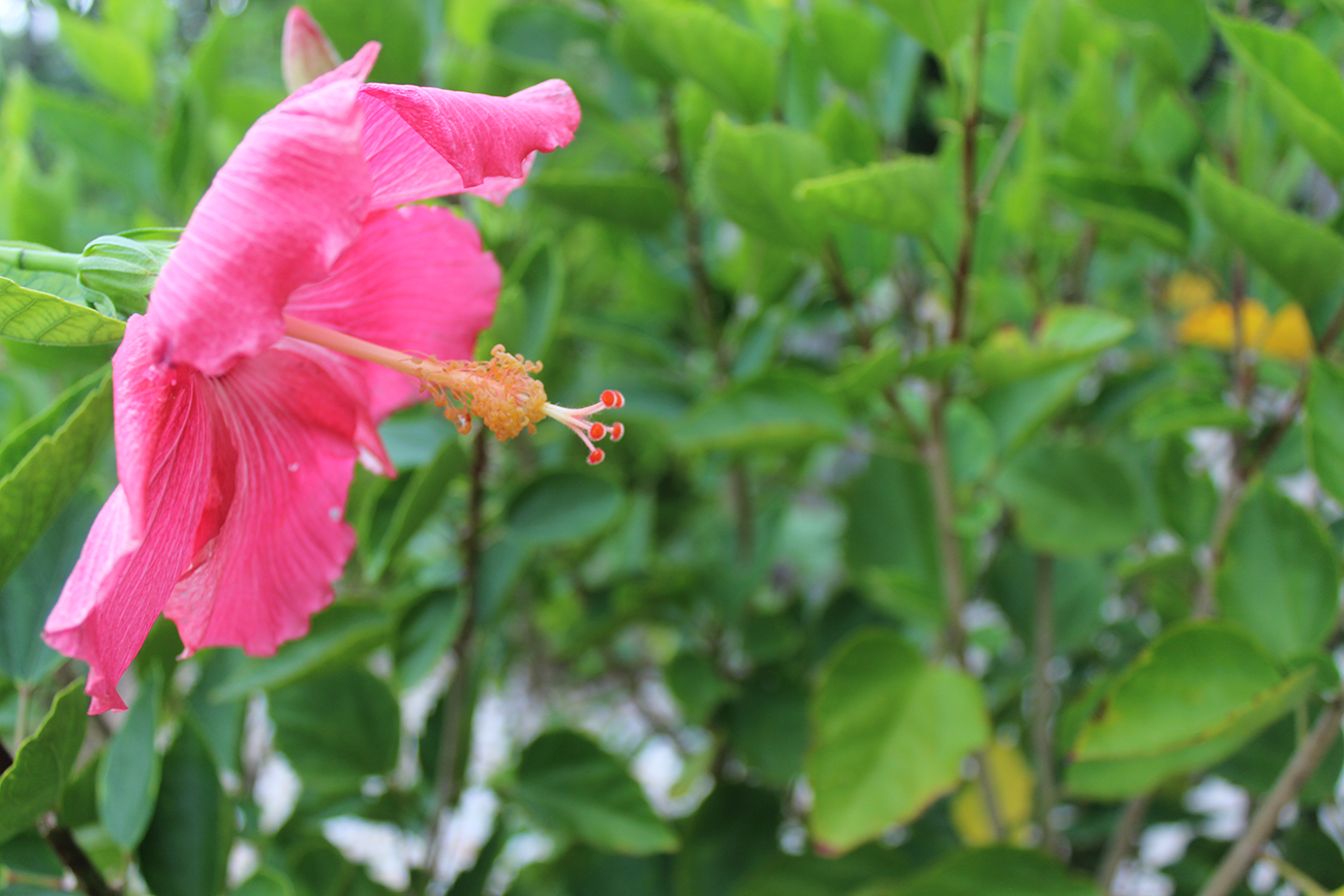 Gorgeous grounds, featuring the pink hibiscus and many more tropical plants and flowers!