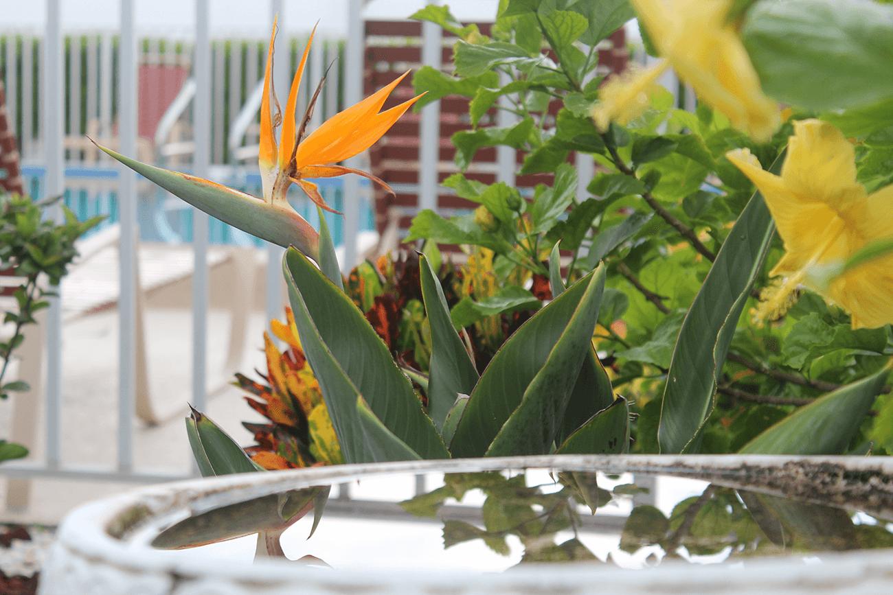 Poolside bird of paradise