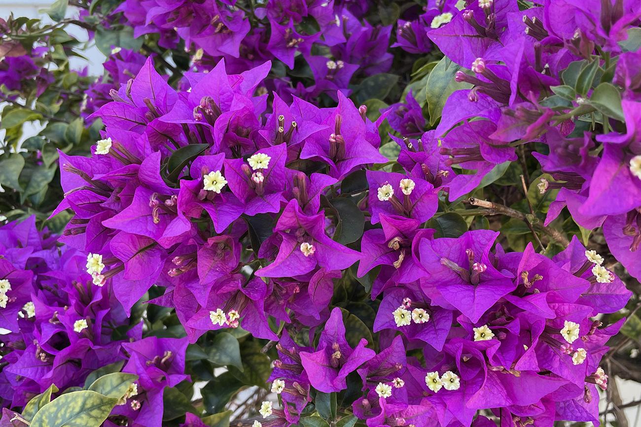 Beautiful bougainvillea