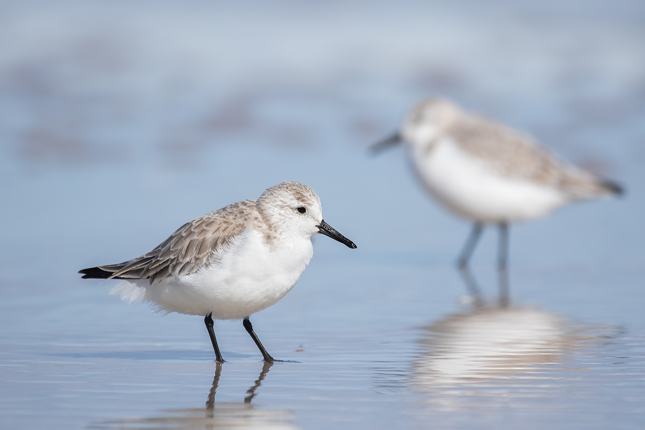Experience Florida's wide variety of shore birds (like this Snowy Plover)!